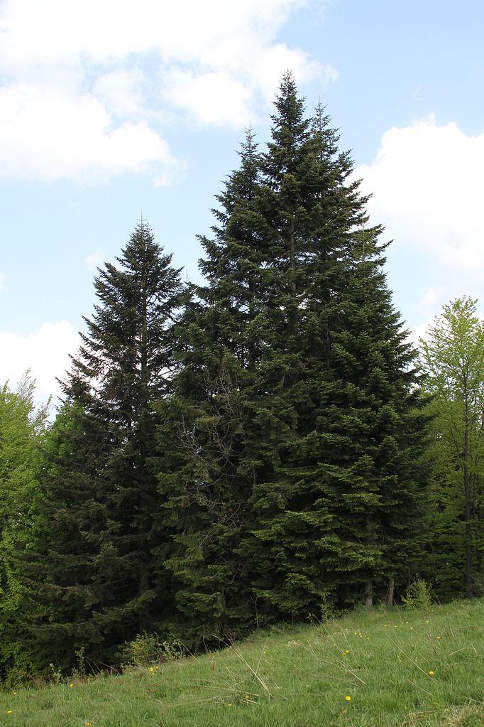 Weißtannen im Schwarzwald